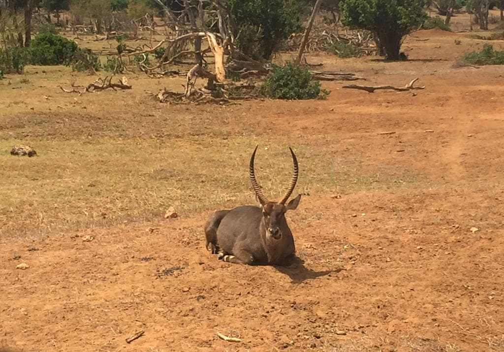 Safari Wasserbock Tsavo Ost Nationalpark Kenia