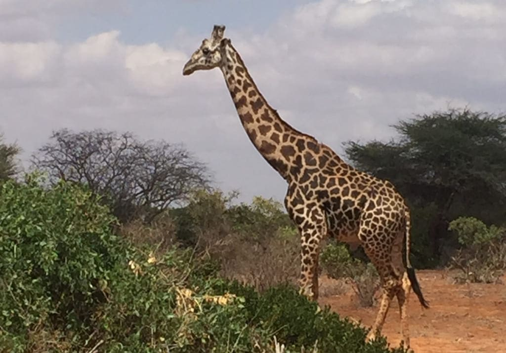 Safari Giraffe Tsavo Ost Nationalpark Kenia